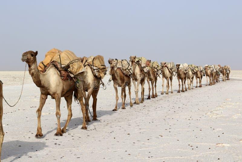 Camels caravan carrying salt in Africa`s Danakil Desert, Ethiopia. Camels carrying salt in Africa`s Danakil Desert, Ethiopia royalty free stock images
