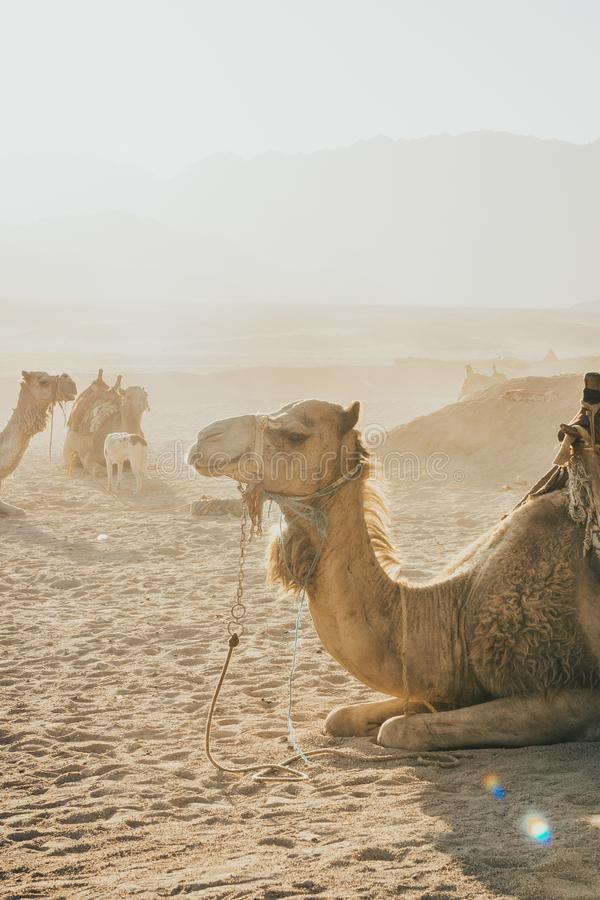 Camels caravan sitting on the sand stock photography