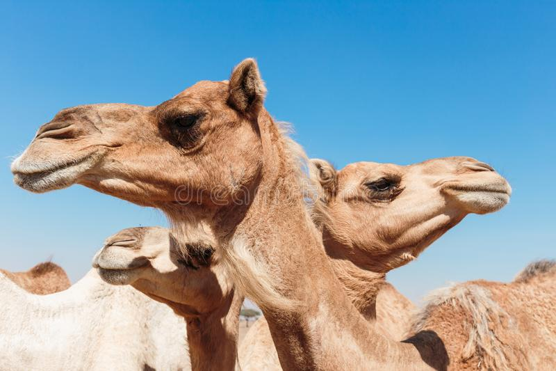 Camels in the desert. Of Duai stock photography