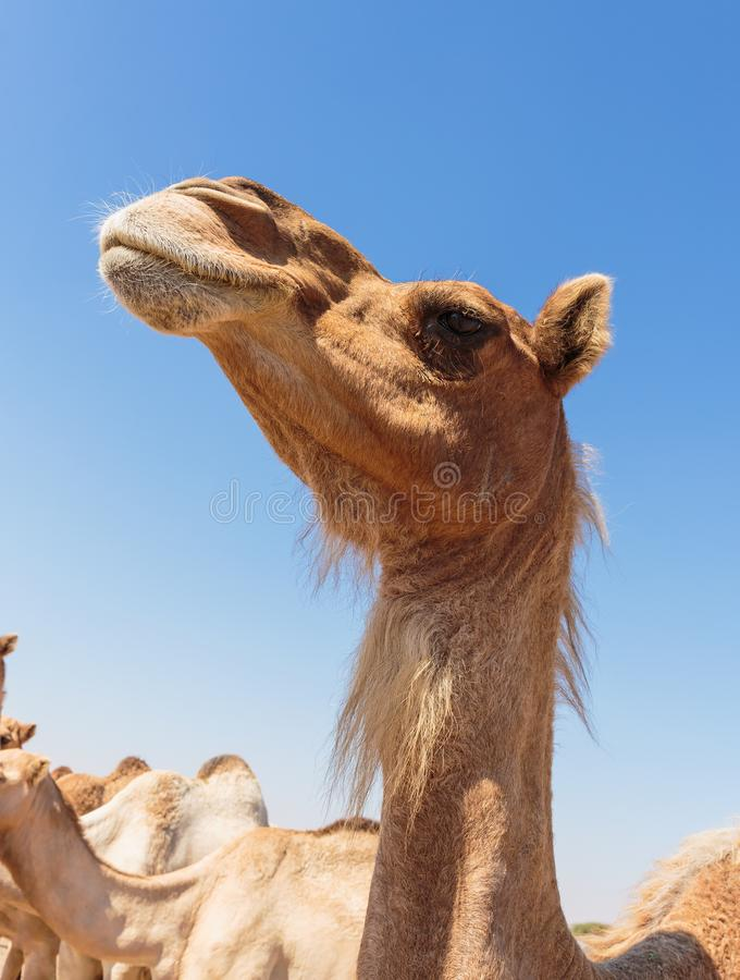Camels in the desert. Of Duai royalty free stock photos