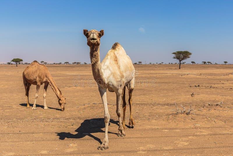 Camels in the desert. Dubai stock image
