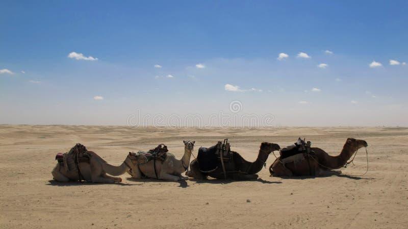 Camels in the desert. 4 camels in the desert of Tunesia stock photos