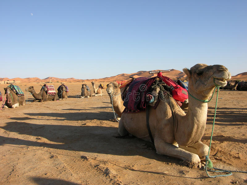 Camels in the desert. Waiting for a desert walk royalty free stock image