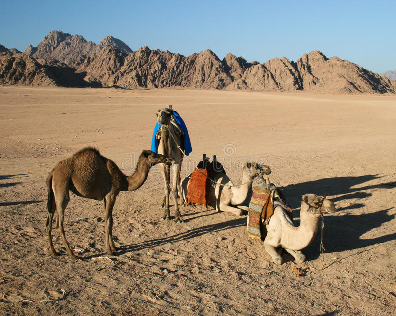 Download Camels in the Desert stock image. Image of caravan, rugged - 22803735