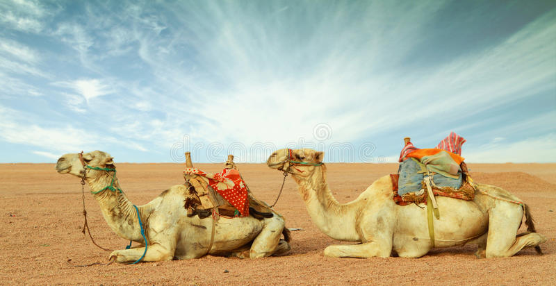Camels in desert royalty free stock photo