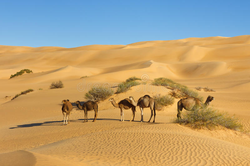 Camels in the Desert - Awbari Sand Sea, Sahara. Camel Herd in the Desert - Awbari Sand Sea, Sahara Desert, Libya stock photography