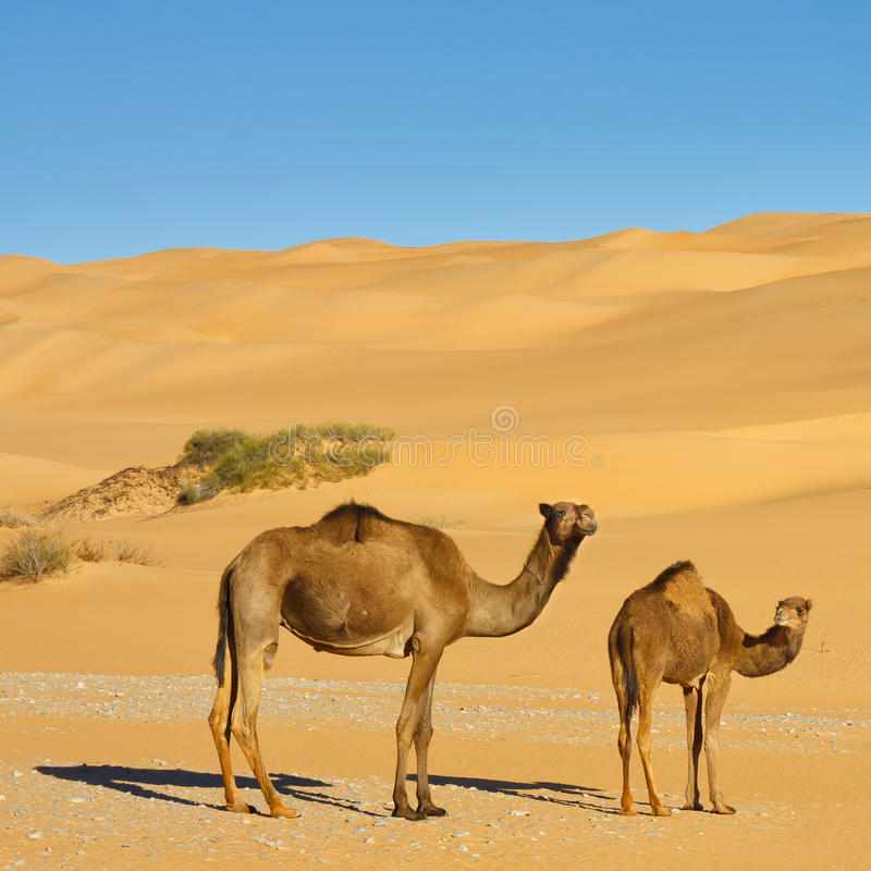Camels in the Desert - Awbari Sand Sea, Sahara. Two Camels in the Desert - Awbari Sand Sea, Sahara Desert, Libya stock photography