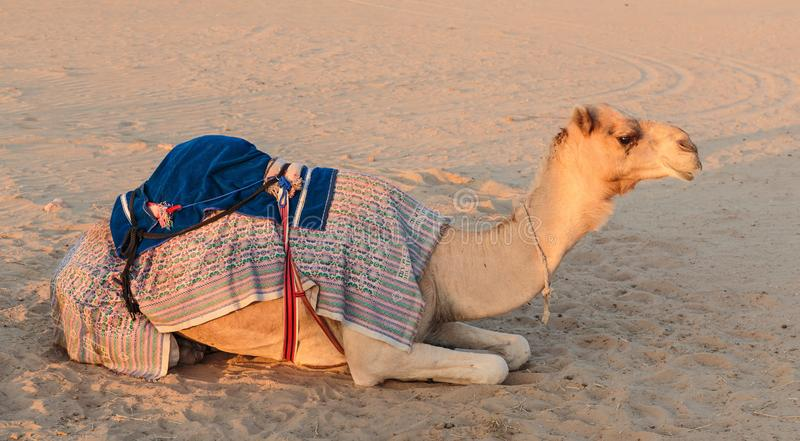 Camels in the desert. In Dubai United Arab Emirates stock photography