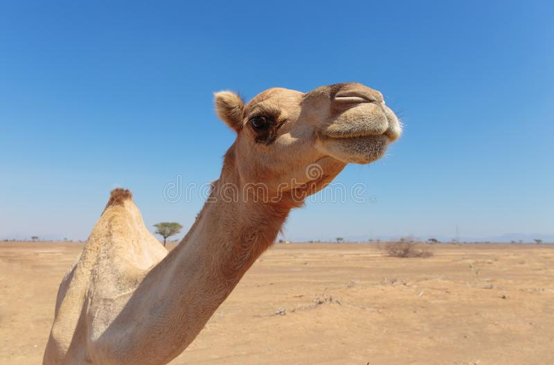 Camels in the desert. United Arab Emirates royalty free stock photo
