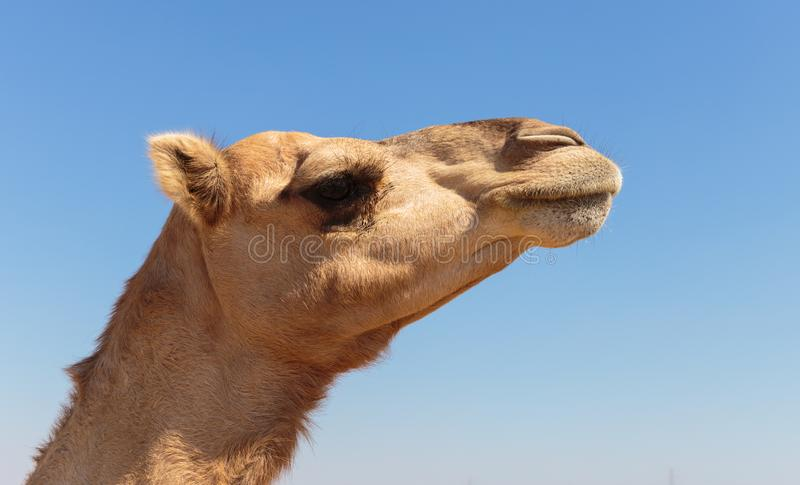 Camels in the desert. United Arab Emirates stock image