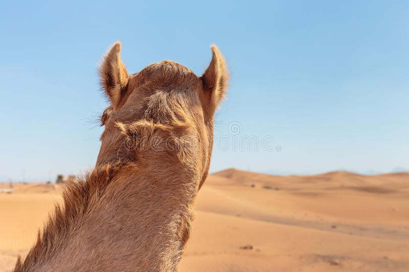 Camels in the desert. United Arab Emirates royalty free stock photos