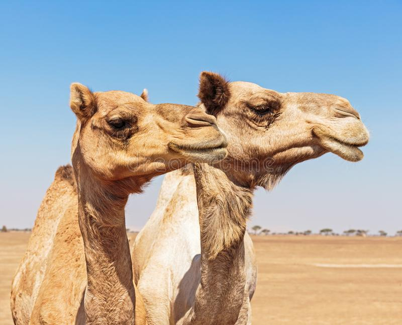 Camels in the desert. United Arab Emirates stock photo