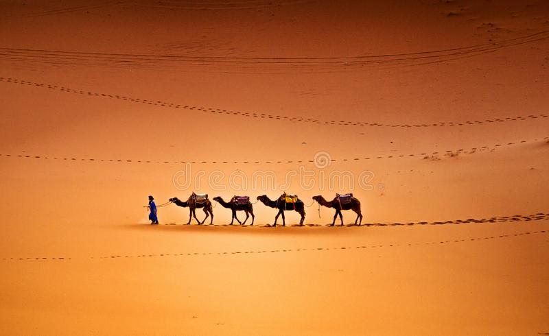 Camels in the Desert. Camels caravan in the Sahara Desert Morocco royalty free stock photo
