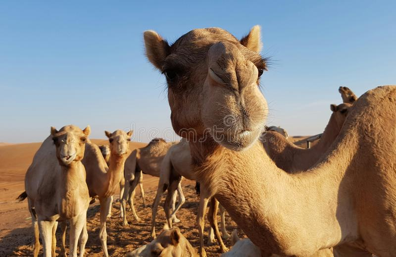 Camels in desert. Close up of camels standing in sandy desert on sunny day stock image