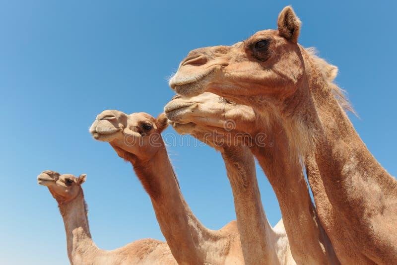 Camels in the desert. Dubai stock photo