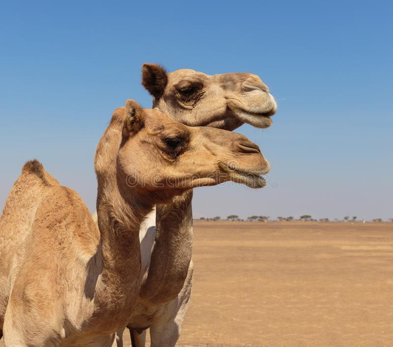 Camels in the desert. Dubai royalty free stock photo