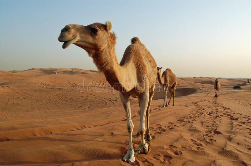 Camels in the desert. In Dubai stock photography