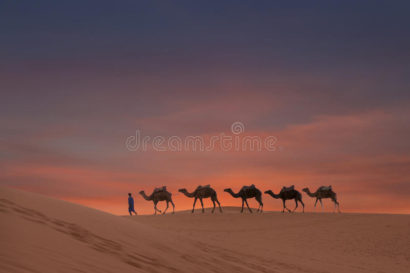 Camels on the desert. Dunes morocco stock images
