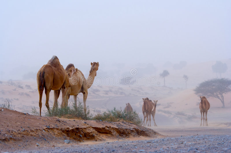 Camels on a desert highway. A picture of several wild camels, walking along a desert highway amid a sand storm in the United Arab Emirates stock images