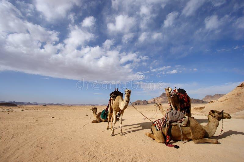 Camels in desert in Jordan. Camels at rest in desert of Wadi Rum in Jordan stock image