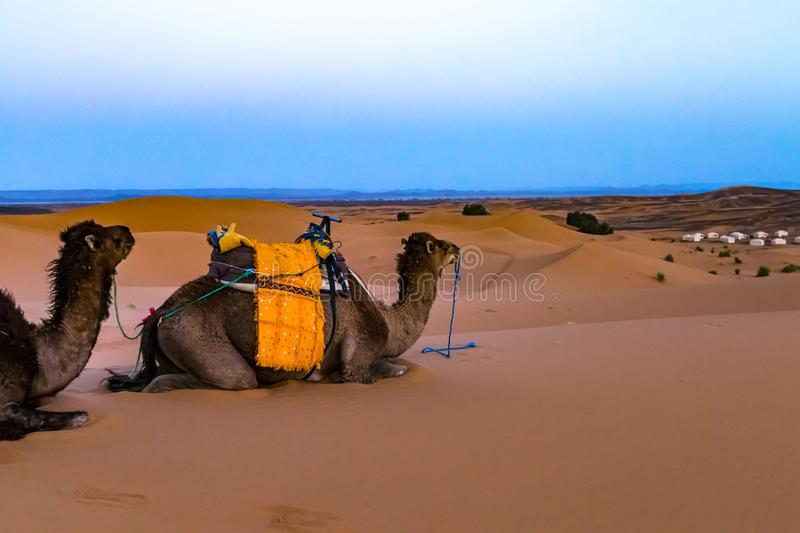 Camels in the Desert. A line of camels sit patiently on the sand in the Sahara Desert in Morocco stock photos