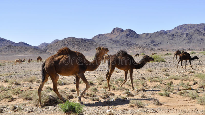 Camels in the desert,Morocco. Camels close up in the desert in Morocco royalty free stock photo