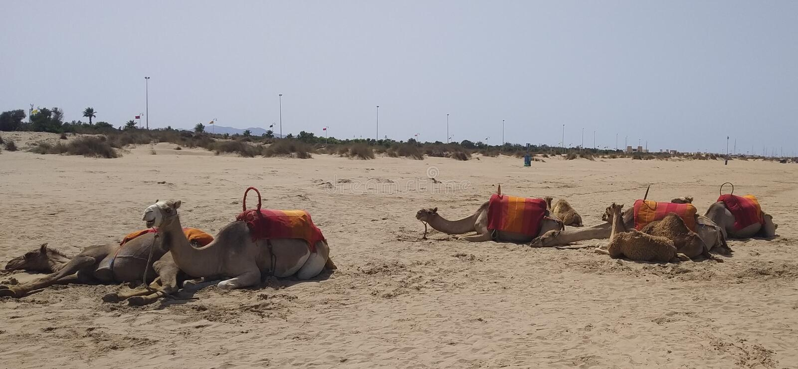 Camels in Desert. Morroccos Africa stock image