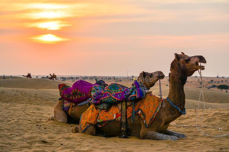 Camels in a desert at sunset stock photo
