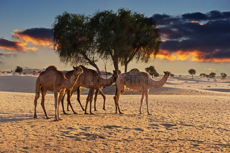 Camels in the desert at sunset. Of Dubai stock photos