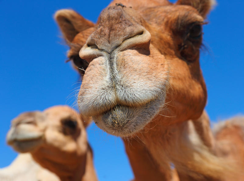 Camels in the desert. UAE stock photography