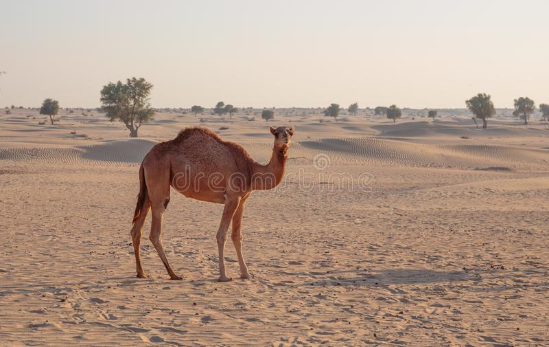 Camels in the desert. United Arab Emirates stock photography