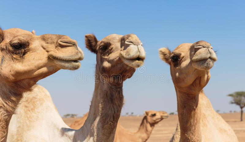Camels in the desert. United Arab Emirates stock photos