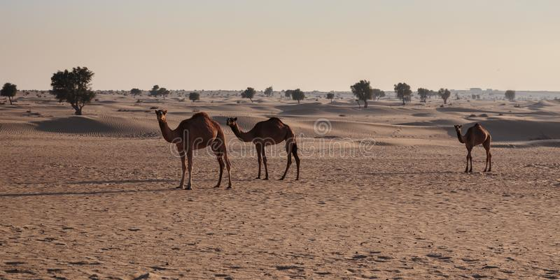 Camels in the desert. United Arab Emirates royalty free stock image