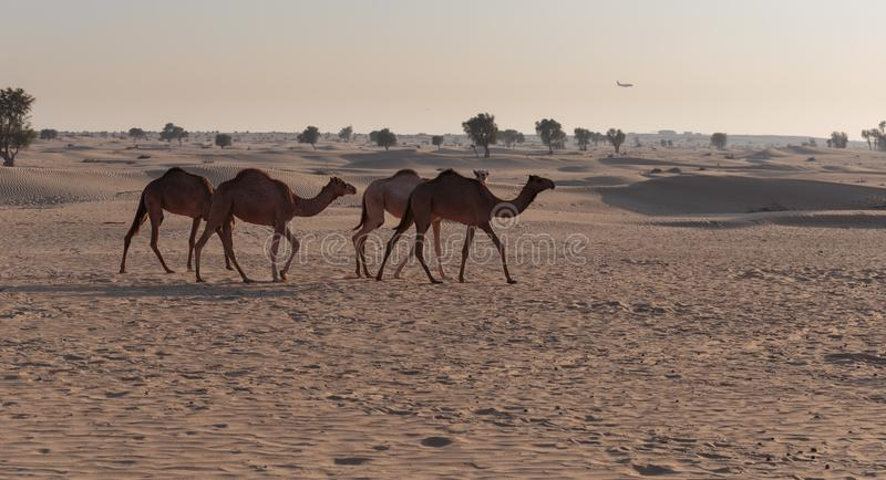 Camels in the desert. United Arab Emirates royalty free stock photography
