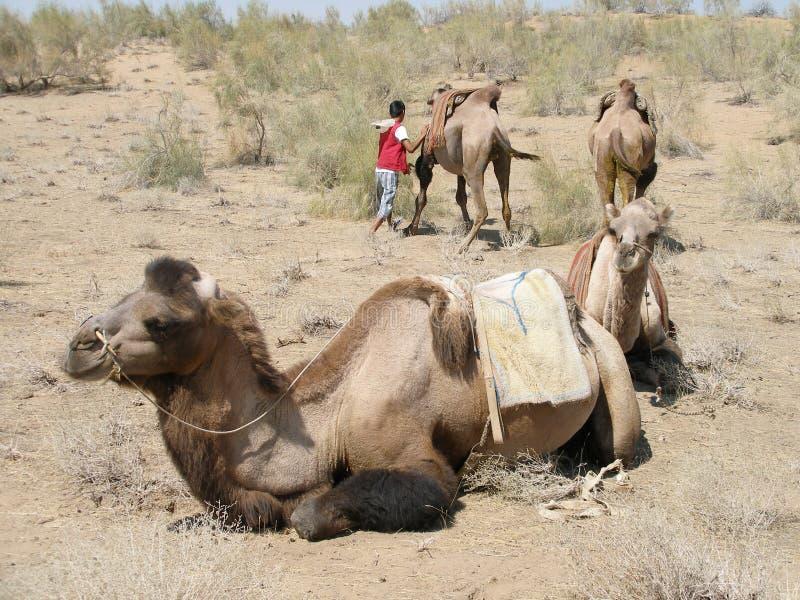 Camels in the desert, Uzbekistan stock images