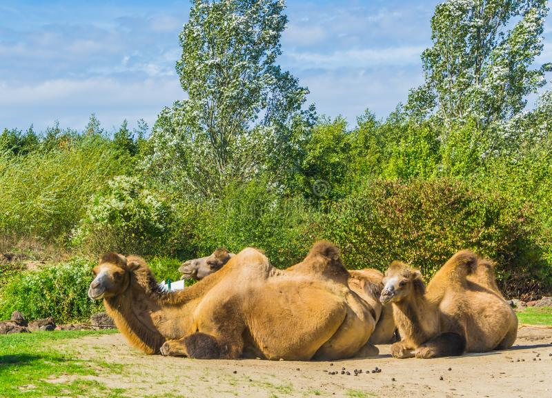 Camels with double humps sitting down in a group close together. Some Camels with double humps sitting down in a group close together royalty free stock images