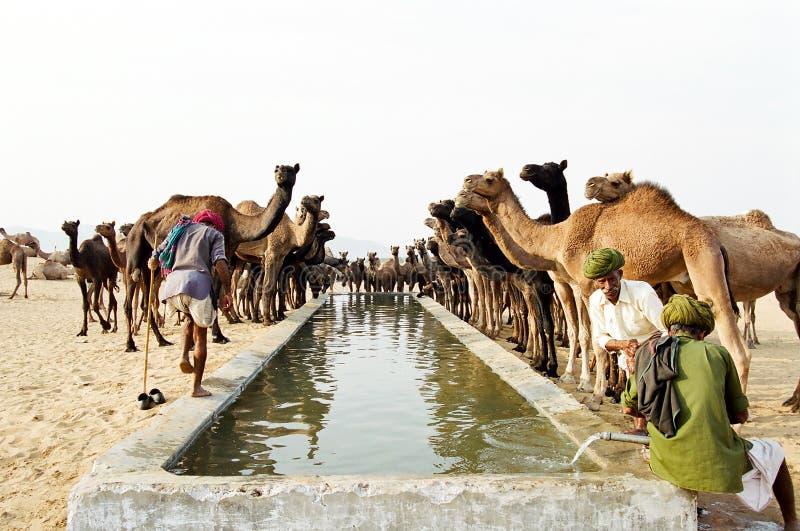 Camels drinking, Pushkar India stock images