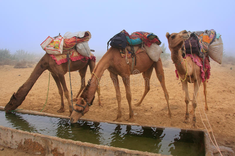 Camels drinking from reservoir in a morning fog during camel safari, Thar desert, Rajasthan, India stock photography
