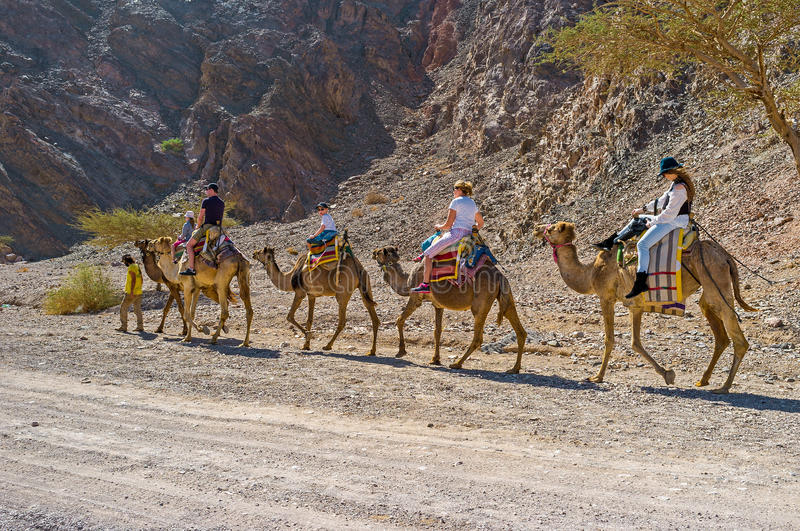 The camels in Eilat Mountains. EILAT, ISRAEL - FEBRUARY 24, 2016: The camel safari to Masiv Eilat Nature Reserve is the popular tourist attraction, on February royalty free stock photos