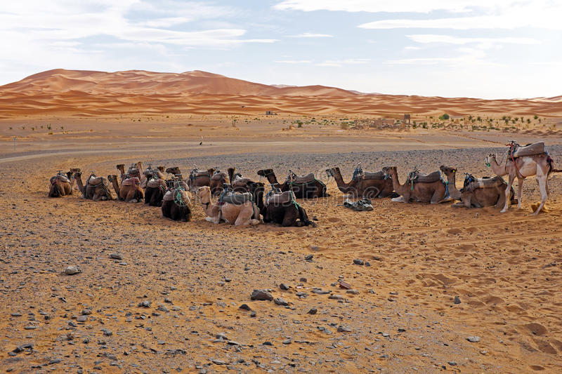 Download Camels In The Erg Chebbi Desert, Morocco Stock Photo - Image: 36243192