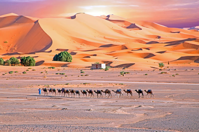 Camels in the Erg Shebbi desert in Morocco. Africa royalty free stock images