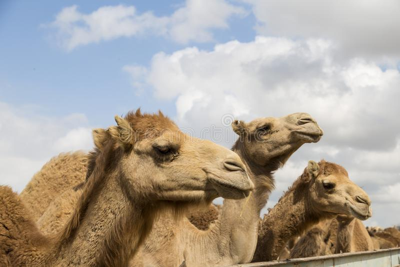 Camels on the farm begging for food. From tourists stock photography