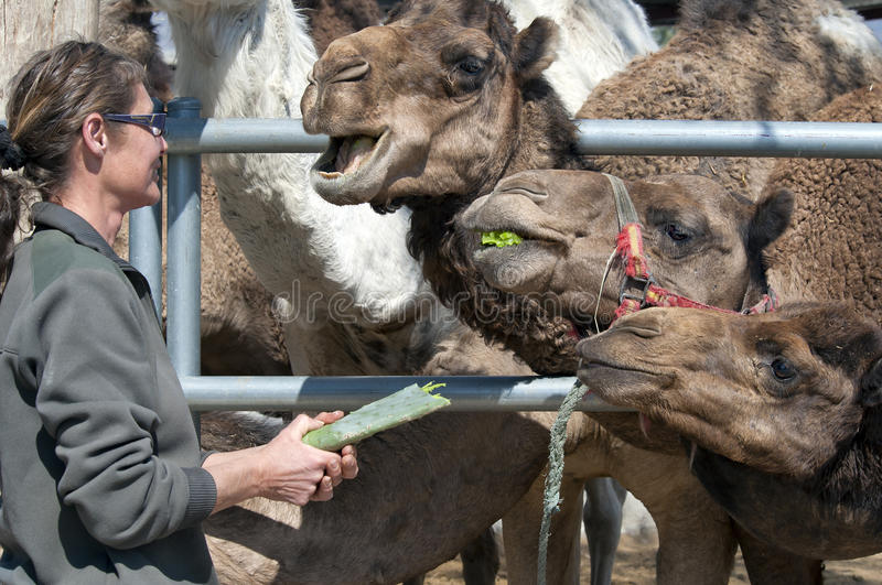 Camels Feeding. Camels being fed a Cactus stock photography