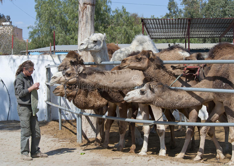 Camels Feeding. Camels being fed a Cactus royalty free stock images