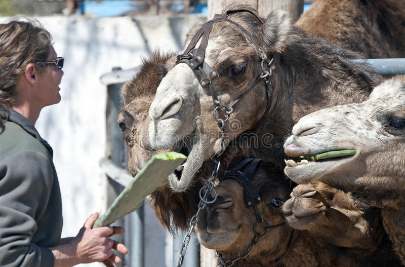Camels Feeding. Camels being fed a Cactus stock images