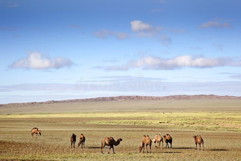 Camels in the Gobi Desert. A caravan of camels restingand eating in the sand of the Gobi Desert stock image