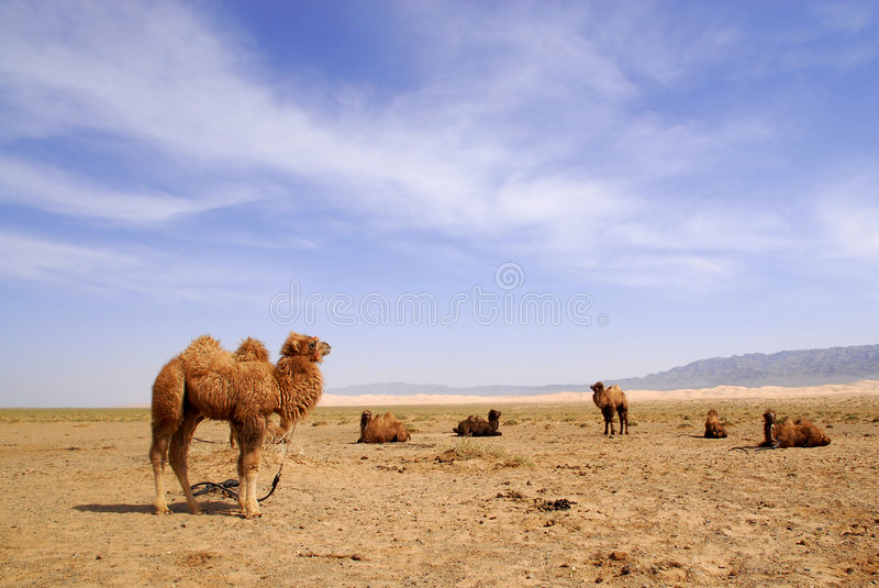 Camels in the Gobi Desert, Mongolia. Tethered camels in the Gobi Desert, Mongolia royalty free stock photo