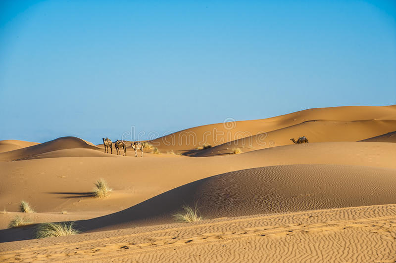 Camels in desert of Sahara, Morocco. Aarabian camels walk through the desert Sahara in Morocco stock photography