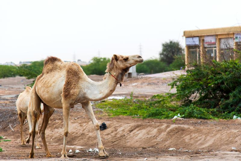 Camels grazing on plants in the desert city. Area graze feeding uae town emirate urban free open space eat eating wasteland dubai stranded mammals animal stock images