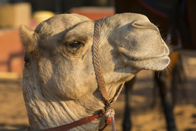 Camels head stock photos